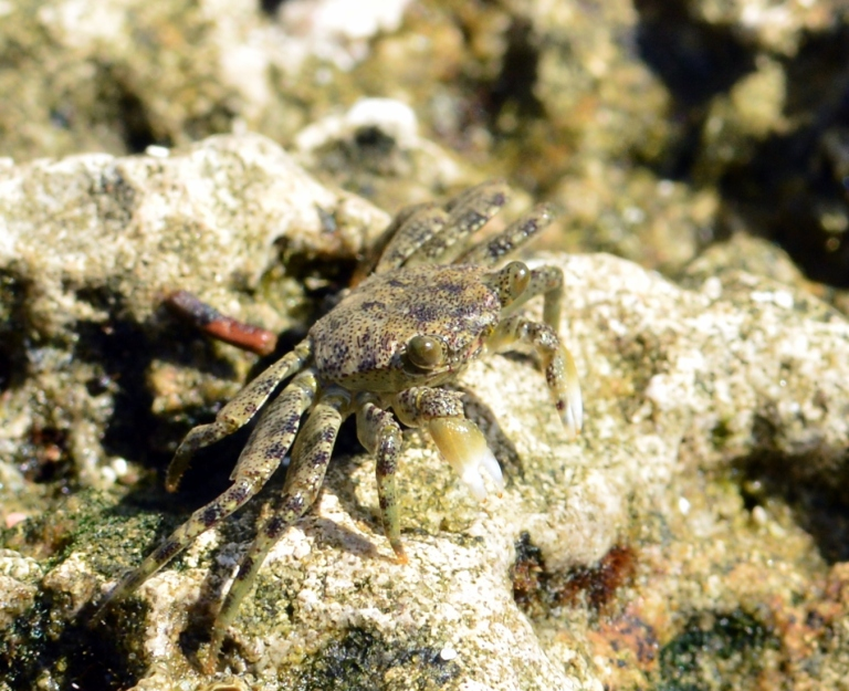Carlos The Crab